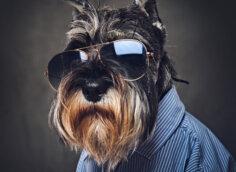 Портретное фото собаки в рубашке и солнечных очках.