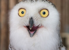 Смешное фото на аву сова с выпучеными глазами.