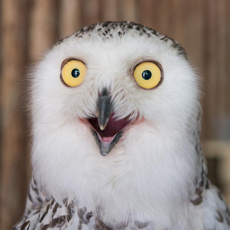 Смешное фото сова с выпученными глазами.