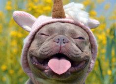 Смешное фото на аватарку улыбающийся французский бульдог в детской шапочке.